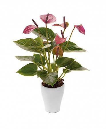Anthurium Baby Purple 7cm lila