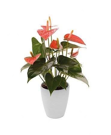 Anthurium Prince of Orange 10,5cm Orange