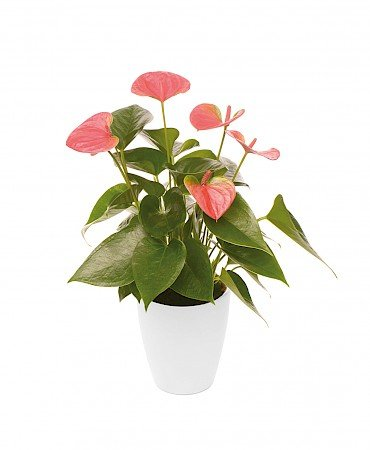 Anthurium Sweet Dream 10,5 cm pink
